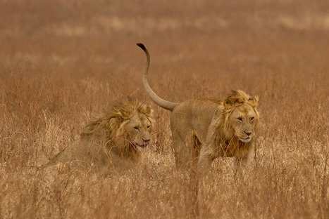 No Silver Bullet Will Save the African Lion #worldlionday | Wildlife News | Scoop.it
