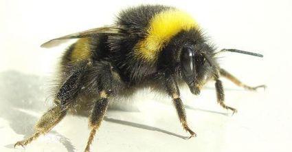 Le bourdon est-il le mâle de l'abeille domestique ? | Au hasard | Scoop.it