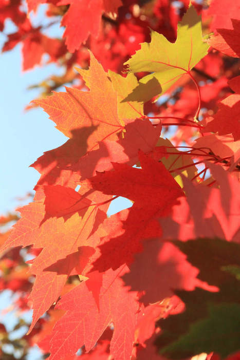Best trees for FIERY color - The Register-Guard | Together we can make a difference to help our,environment,Oceans,Nature and wildlife. | Scoop.it