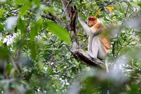 Photo 187   BEKANTAN -WILD INDONESIA   Bekantan - Wild Indonesia   Scoop.it