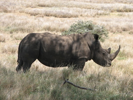 What If Rhinos Were No More? | What's Happening to Africa's Rhino? | Scoop.it