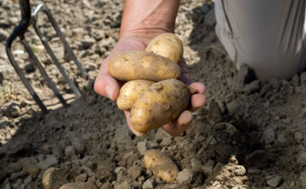 Calgary Digs Out Potato People | Food issues | Scoop.it