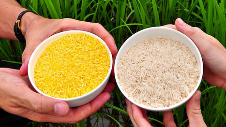 Greenpeace demanding halt to field trials of 'golden rice' in 3 PH provinces | Organismos Modificados Genéticamente (OMGs) | Scoop.it