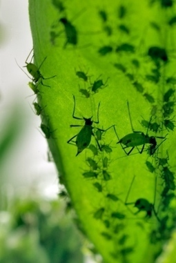 Photosynthesis-like process found in insects / Une sorte de photosynthèse chez... un insecte ! | EntomoNews | Scoop.it