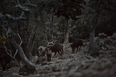 Italy's Famed #Wine Region a War Zone, Invaded by Boars and Others   Vitabella Wine Daily Gossip   Scoop.it