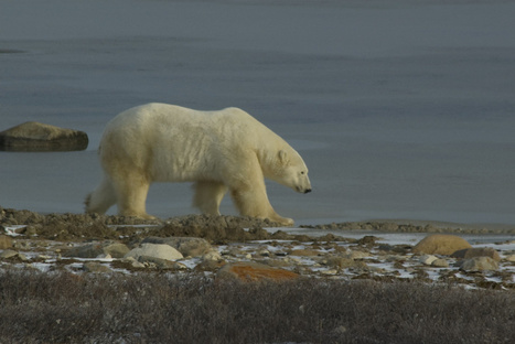 Polar bears could turn brown as climate changes, geneticist says | Toronto Star | Climate change challenges | Scoop.it