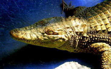 """Nile Crocodile Signals Rescuer, """"I'm Still Alive!"""" 