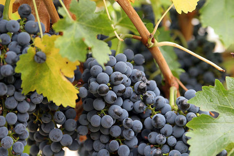 Grape Seed May Aid In Fight Against Bowel Cancer | Daily Globe | Startyourownbusiness | Scoop.it