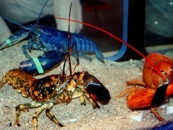 "Colorful Lobster Trio a ""1 in 900 Quintillion"" Sight 