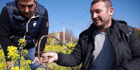 Monbazillac (24) : une alternative aux pesticides pour la vigne | Images et infos du monde viticole | Scoop.it