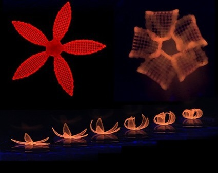 A novel '4D printing' method inspired by plants | Amazing Science | Scoop.it