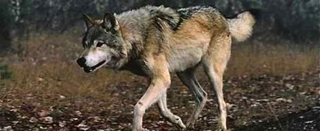 Actu88 – L'actualité des Vosges en direct – Greux – Nouvelle attaque du loup, 1 brebis et 5 agneaux | Loup | Scoop.it