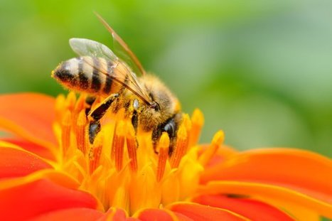 How honey bees 'telescope' their abdomens | Organic Farming | Scoop.it