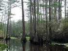 Okefenokee Swamp - Georgia Habitats | Habitats | Scoop.it