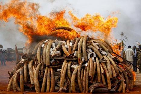 The Tragic Slaughter of Tens of Thousands of Elephants -- Just For Their Tusks - May Be Extinct By 2020 | Biodiversity IS Life  – #Conservation #Ecosystems #Wildlife #Rivers #Forests #Environment | Scoop.it
