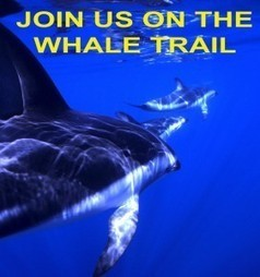 Orca Research Trust   Talks & Tours with Dr Visser.   #OrcaAvengers   Scoop.it