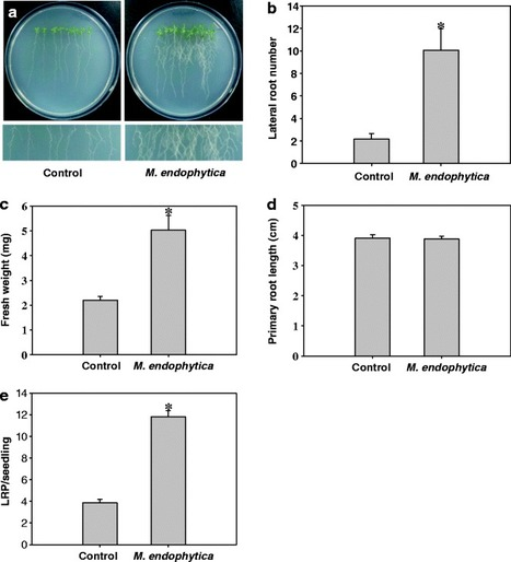 Development of root system architecture of Arabidopsis thaliana in response to colonization by Martelella endophytica YC6887 depends on auxin signaling | Plant-Microbe Symbiosis | Scoop.it
