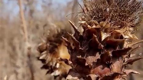 Italie: le chardon, la plante du futur ? | FLE et nouvelles technologies | Scoop.it