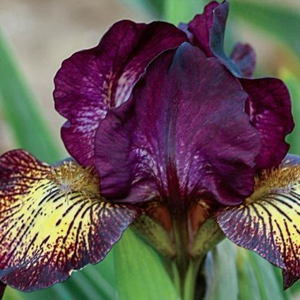 Gimmick Dwarf Iris | Springhill Nursery | Scoop.it