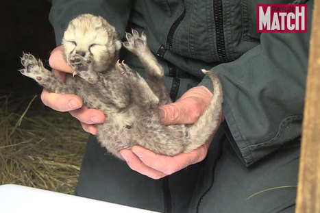 Les zoos de France. Avec les bébés guépards du zoo de la Palmyre | Environnement et DD | Scoop.it