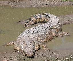 Crocodiles a risk as Australian floodwaters recede | Sustain Our Earth | Scoop.it
