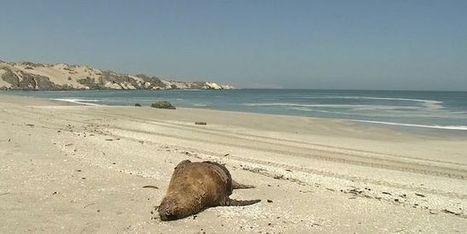 Des lions de mer meurent de faim au Chili   Zones humides - Ramsar - Océans   Scoop.it
