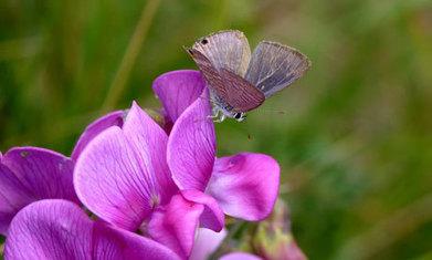 On attend en Grande-Bretagne l'émergence d'un papillon migrateur rare [en anglais] | EntomoNews | Scoop.it