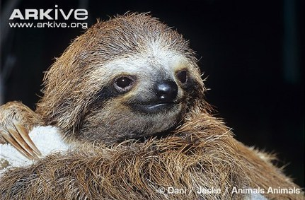 An internet sensation – Meet the Sloths! | Geographayyyyy | Scoop.it
