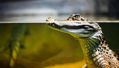Crocodiles' Super-skin Can Detect Environmental Changes - Nature World News | Environmental Sensors | Scoop.it
