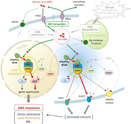 Molecular Basis of the Core Regulatory Network in ABA Responses: Sensing, Signaling and Transport | Plant Science in the 21st Century | Scoop.it