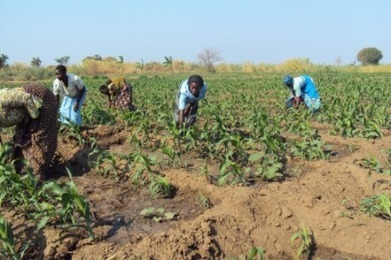 Malawians rethink maize planting as climate dries - AlertNet | Sustain Our Earth | Scoop.it