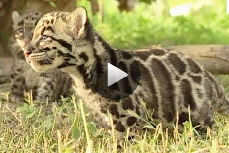 Il faut sauver la panthère nébuleuse - National Geographic | Ecology view | Scoop.it