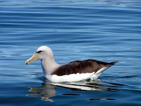 Pacific albatrosses get more protection | Blue Planet | Scoop.it