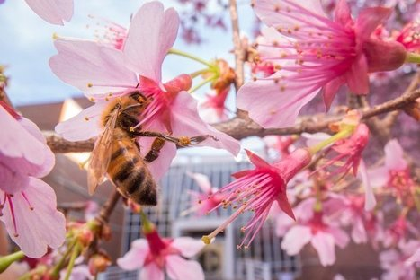 City Bees Stick to a Flower Diet Rather Than Slurp Up Soda | OrganicNews | Scoop.it