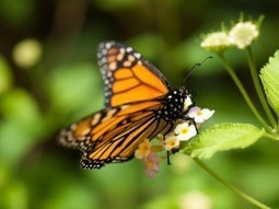 Monarch Butterflies in Decline Due to Proliferation of GM Crops - Waking Times « Waking Times | Freefire Nature | Scoop.it