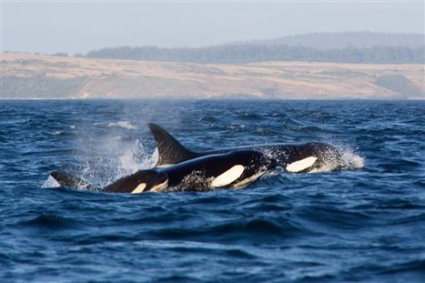 Rehabilitated and Released Orca Thriving and Now a Mom - Peta | Puget Sound and the Salish Sea | Scoop.it