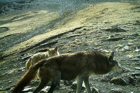 The Woolly Wolf Is Spotted in Nepal for the First Time | GarryRogers Biosphere News | Scoop.it