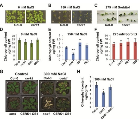 Chitin receptor CERK1 links salt stress and chitin‐triggered innate immunity in Arabidopsis | Microbiome and plant immunity | Scoop.it