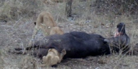 Lion Cub Gets Head Stuck In Dead Buffalo's Bum (VIDEO) - Huffington Post UK   My Funny Africa.. is this the lions last roar?   Scoop.it