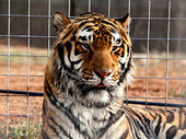 Bunny's Blog: IFAW Helps Rescue Nine Tigers and One Cougar from Failing Sanctuary in Arkansas | Pet News | Scoop.it