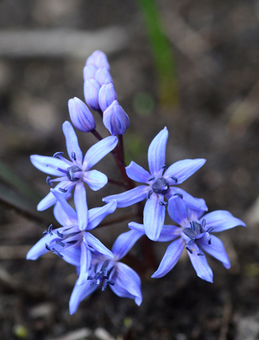 Spring Star Flower is a welcome surprise in the garden | Annie Haven | Haven Brand | Scoop.it