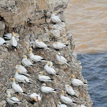 Birdwatching UK: Bempton Cliffs Yorkshire | Birds | Scoop.it
