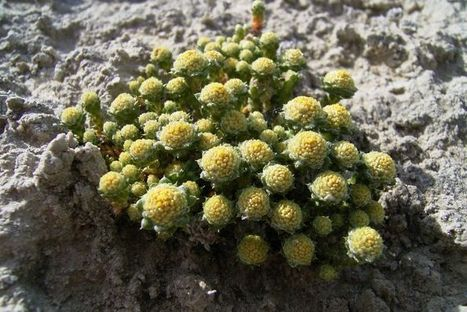 Rare daisy becomes WA's 10,000th native plant species | Australian Plants on the Web | Scoop.it