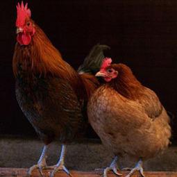 Les poulets peuvent repérer la présence de prédateurs par l'odeur de leurs crottes | Ornithomedia.com | Nature insolite | Scoop.it