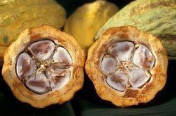 Côte d'Ivoire : De la prison pour du cacao - Afriquinfos.com   FILIERE CAFE CACAO EN COTE D'IVOIRE   Scoop.it