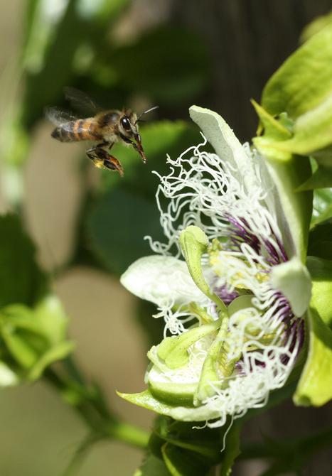 Honeybees Pollinating Passionfruit in Kenya!   Kenya Village Network   Scoop.it