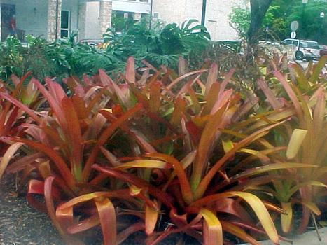 Porto-seguro – (Aechmea Blanchetiana) - PlantaSonya - O seu blog sobre cultivo de plantas e flores | paisajismo | Scoop.it