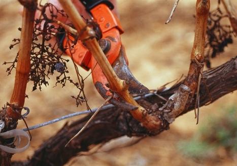 Ravageurs de la vigne : fort effet des pratiques et de l'environnement | Le Vin et + encore | Scoop.it