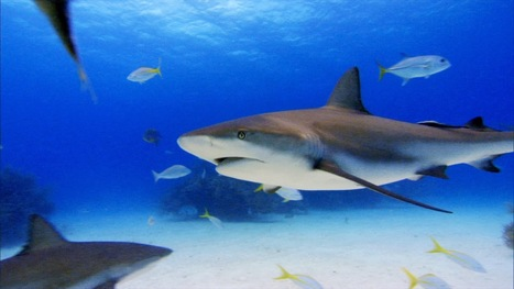 What is shark finning? ~ Peace 4 Animals Cornwall | preservemarinelife | Scoop.it