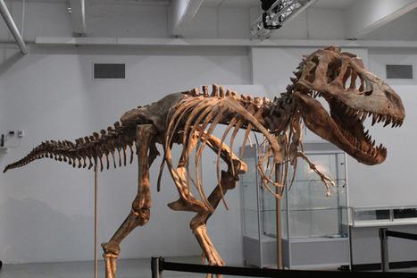 Esqueleto de pariente asiático del Tiranosaurio Rex será subastado en Nueva York | Reflejos | Scoop.it